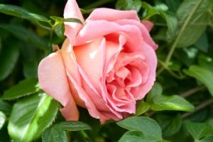 153B City of Roses