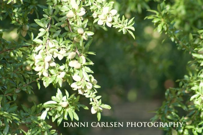 355 Olive Tree copy