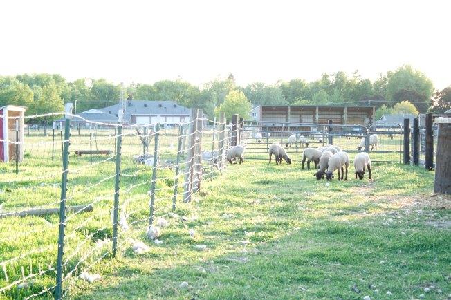 43  Baby Sheep